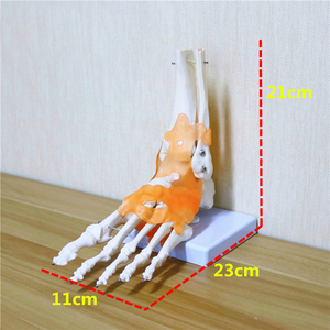 Image 2 - 23x21x11cm Human 1:1 Skeleton Ligament Foot Ankle Joint Anatomi cal Anatomy Medical Teaching Model