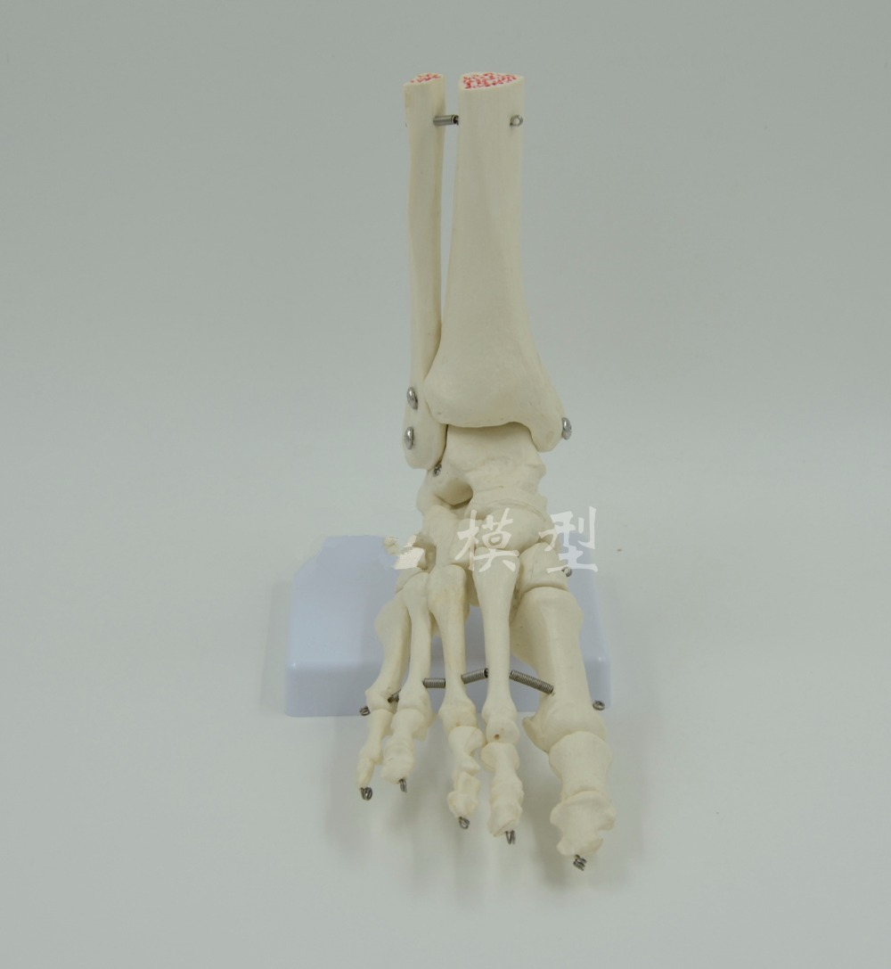 Life-Size Foot Joint Model human skeleton model Human Foot & Ankle Model - Life Size Anatomical Skeletal Model skin block model 26 points displayed human skin anatomical model skin model