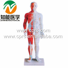 BIX-Y1005 Standard Anatomical Acupuncture Model(60CM) WBW331