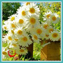 400 German Fragrant Chamomile Flower Seeds Heirloom NON-GMO Fragrant orchid creepers