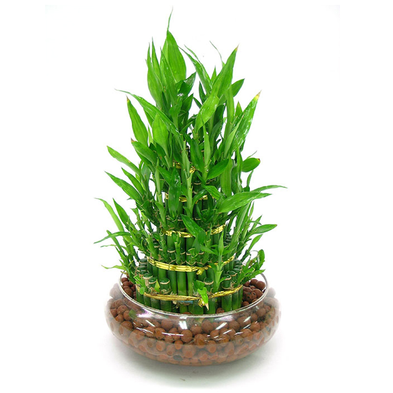 100 True Rare 7 Kinds Lucky Bamboo Choose Potted Bonsai Variety Complete Dracaena plant The Budding Rate 95 60 PCS Pack in Bonsai from Home Garden