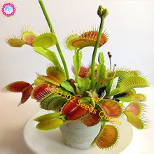11.11# 100 pcs/bag Clip Venus Flytrap Dionaea Seeds Derlook flowers bonsai Potted Plant dionaea seeds Giant home&garden supplies