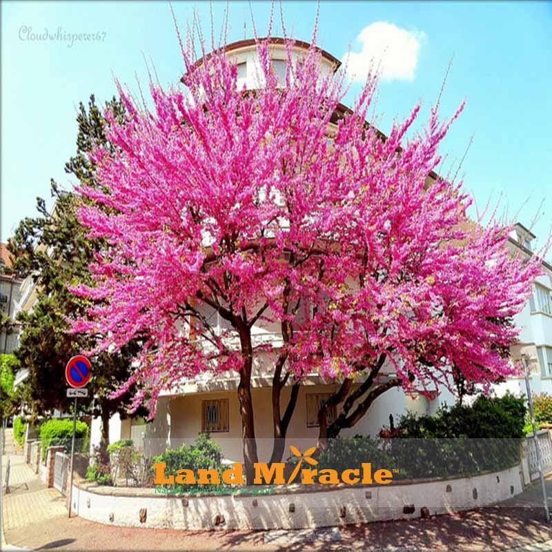 Pink Cherry Tree Anese Sakura Blossom Seeds 20pcs Ebay