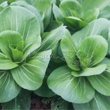 400+Bok Choi,  Shanghai Green Chinese Cabbage Seeds Home  vegetable for garden Four Seasons planting