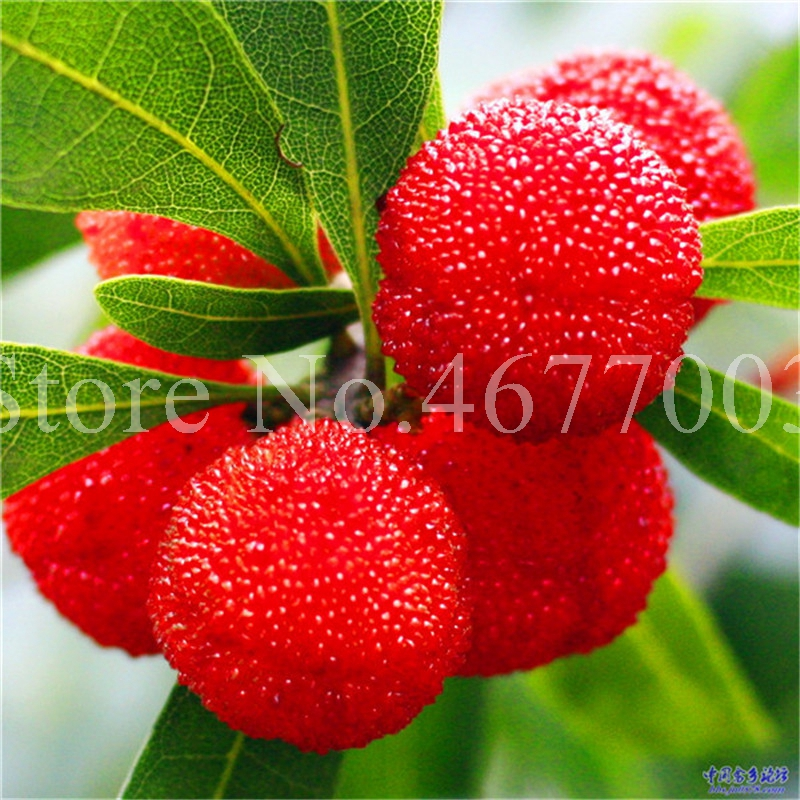 10 Pcs Rare Black Myrica Rubra Bonsai Red Bayberry Bonsai Perennial Arbutus Taste Sweet Fruit Tree Bonsai For Flower Pot Planter