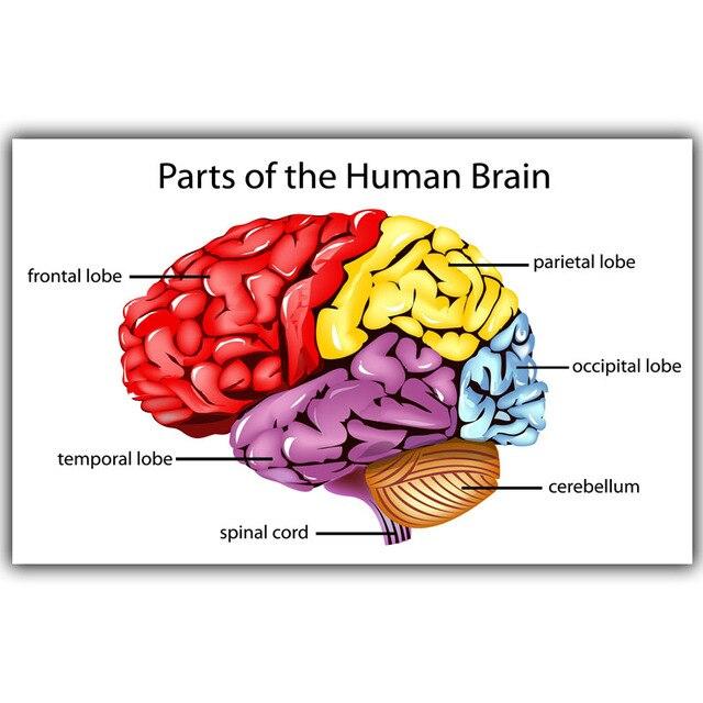 Human science human brain diagram lobes medical knowledge silk human science human brain diagram lobes medical knowledge silk poster printing custom wallpaper decorated hospital ccuart Choice Image