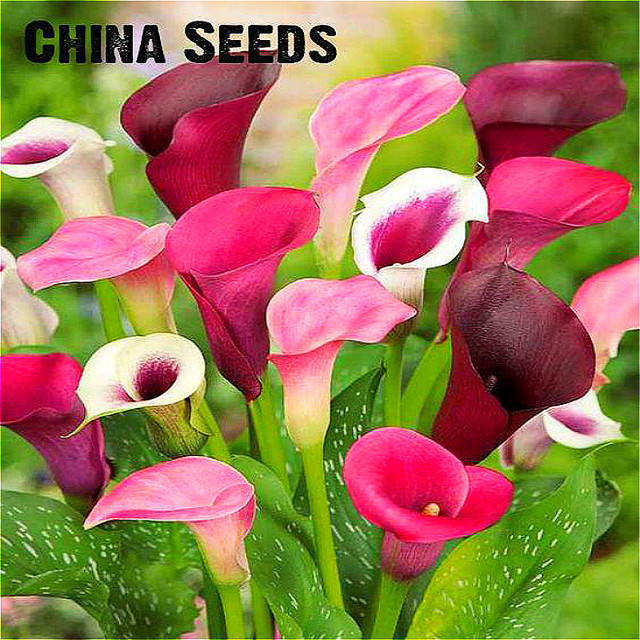Calla Lily Plants Rare Bonsai Garden Potted Flower Diy Plant For Home
