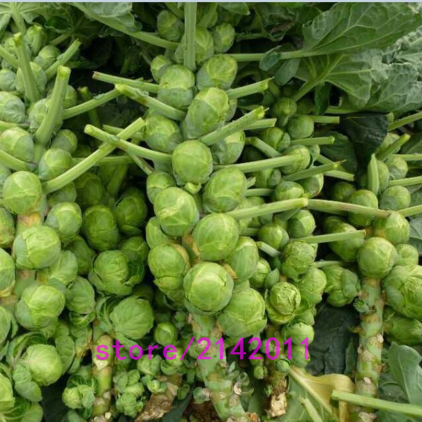 200 pcs/bag mini cabbage seeds,Brussels sprouts,chinese cabbage,Organic Heirloom vegetable fruit seeds for home garden planting