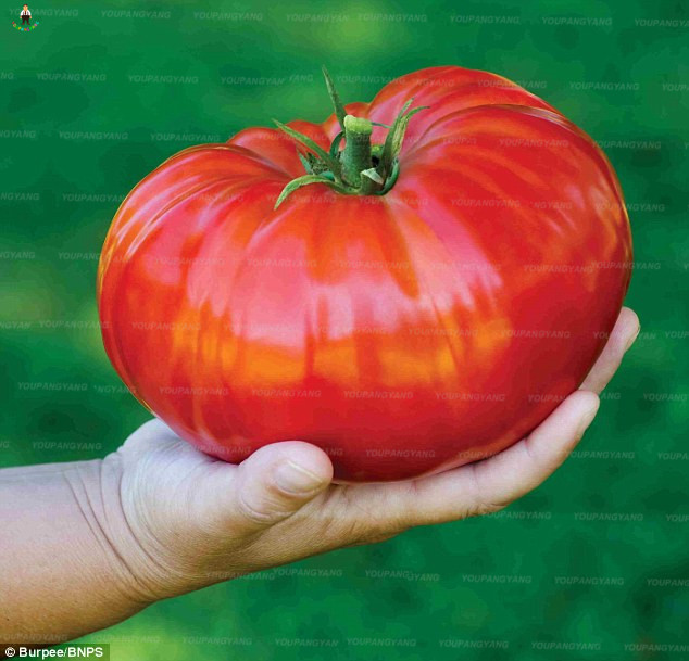 100 big huge Tomato Bonsai Heirloom Sweet Gardening Plantas Plants Non Gmo Vegetable bonsai tree For Home Garden