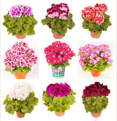 Hot Sale 100PCS/Bag Multiple Colour Geranium Bonsai Perennial Flower plant Pelargonium ,Indoor Plants Beautiful Flower Bonsai