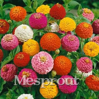 Hot Sale! Zinnia Elegans Seeds True Beautiful Fireball Flower Seeds Red Yellow Purple Multicolor Chrysanthemum Seeds - 100 pcs M
