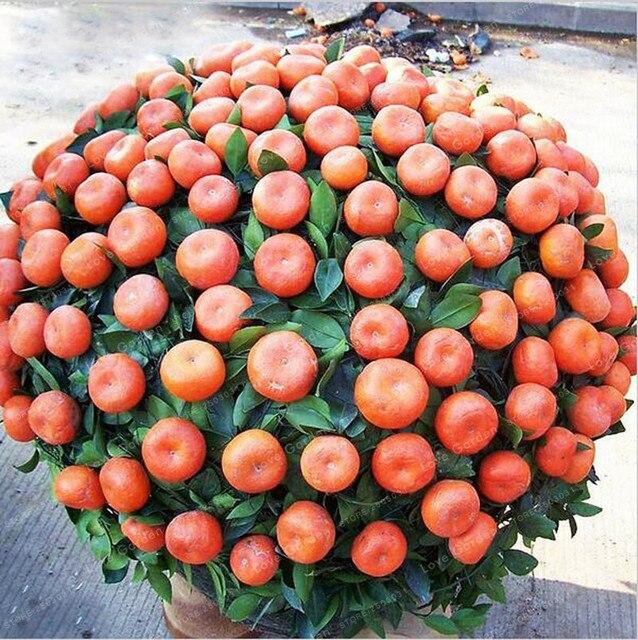 30 шт. цитрусовые оранжевый карликовые деревья бонсай мандарин бонсай съедобные сладкие цитрусовые дерево для дома садовый фрукт растение