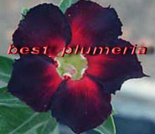 100% Genuine  Dark Spicy  Adenium Obesum Seeds - 100 SEEDS - Bonsai Desert Rose Flower P ...
