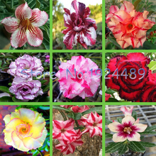1PCS 25 different varieties of colors Desert Rose Seeds bonsai garden courtyard balcony potted flowers