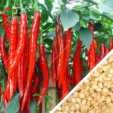 100pcs / bag Red Long Pepper Organic Vegetable  Plant Hot chili for home garden Paprika seeds