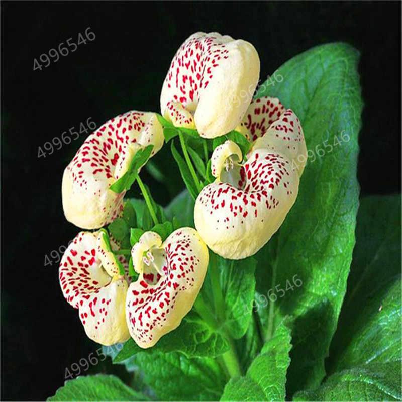 100 Pcs Calceolaria Dicentra Spectabilis Bonsai Flor Rara Em Plantas Plantio Fácil DIY Casa Jardim Bonsai Ao Ar Livre Bonito
