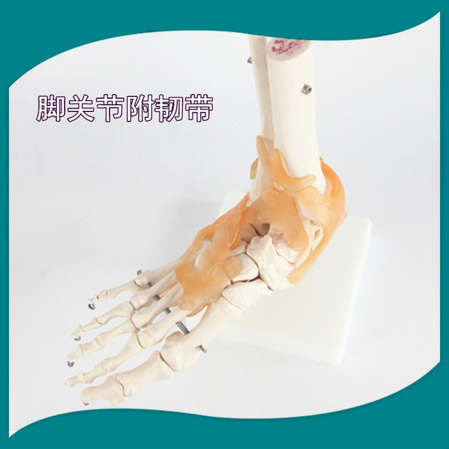 Human Foot Ankle Joint Model Foot Skeleton Model with Ligament Foot ...