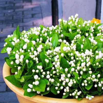 20 seeds pack Balcony potted jasmine flower seeds easy to plant seeds seasons sowing flowers