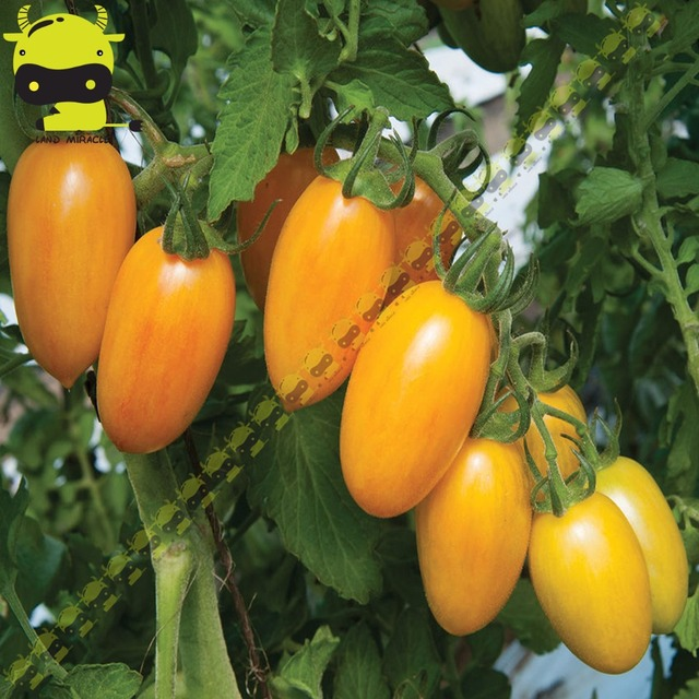 Land Miracle Heirloom Non Gmo Tomato Fresh Organic Seeds 100 Pack