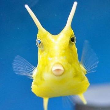 Pet Ornamental Peces Marinos Viva Venta Al Por Mayor Pescado Cuerno