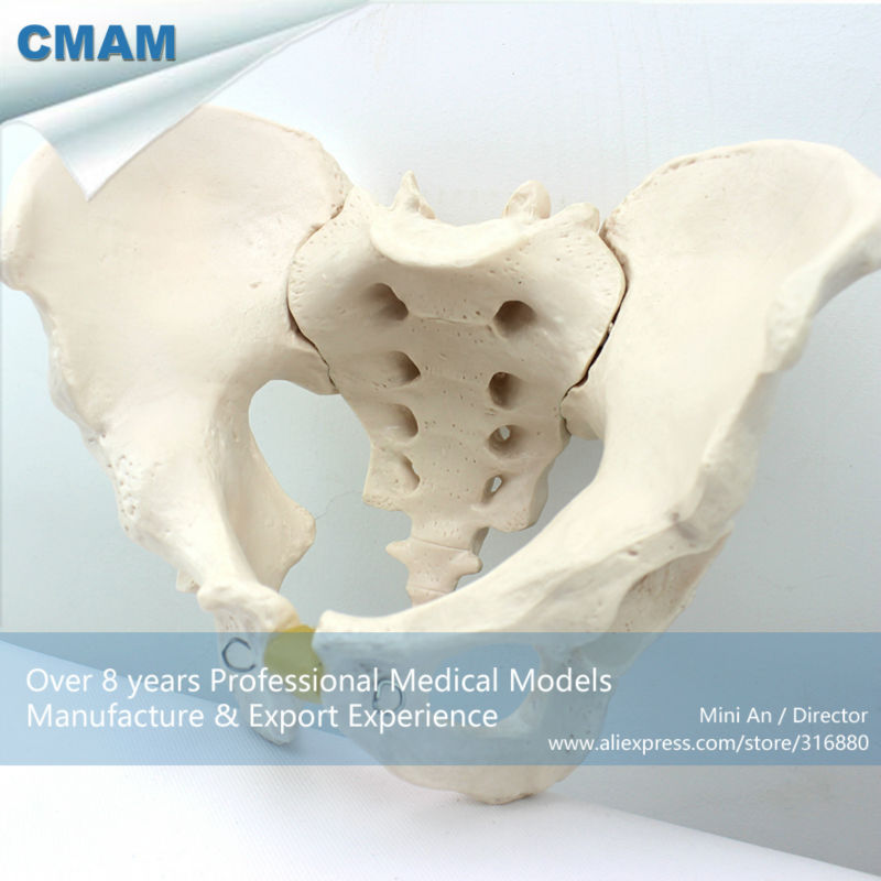 12339 CMAM-PELVIS02 Medical Anatomical Adult Male Pelvis Models, Anatomy Models > Male/Female Models 12338 cmam pelvis01 anatomical human pelvis model with lumbar vertebrae femur medical science educational teaching models