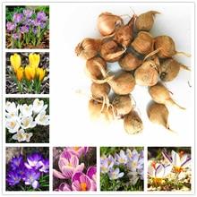 crocus saffron bulbs (not saffron seeds) iran saffron bulbs bonsai flower seeds bulbous flowers potted garden plant – 2 bulbs