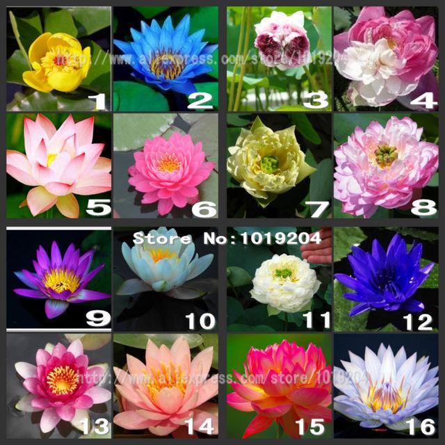 Buy 10pc lotus seeds 100 germination of for Fiori acquatici