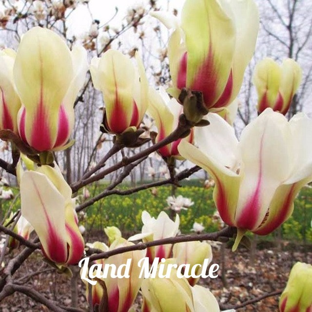 Sunrise Magnolia Flower Seeds (100 Pieces)