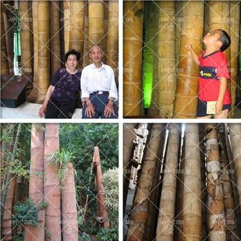 100 pcs Bamboo Phyllostachys Pubescens Rare Giant Bamboo bonsai Bambusa Lako Tree Home Garden Plant for Flower Pot Planters