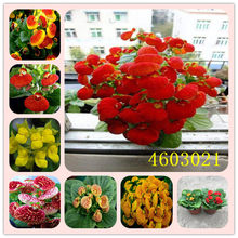 Promotion!100PCS Calceolaria Bonsai Plants Melissa Original Flower Plantas Perennial Flowers For Home Garden Bonsai Pot Planting(China)