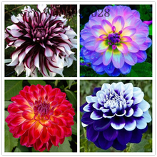 20 Pcs/bag Imported Dahlia Bonsai,Charming Flower,Beautiful Perennial Flowers Pinnata Potted Plant for Home Garden