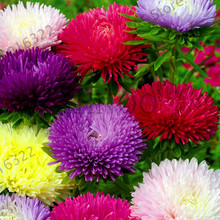 New Fresh Seeds 200PCS Chinese aster seeds bonsai flower seeds rainbow chrysanthemum seeds Garden ornamental flowers plants,#J4O