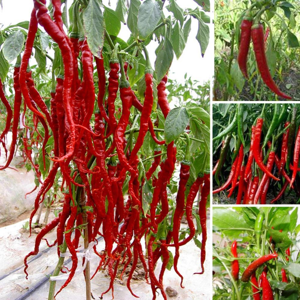 200 seeds Giant Spices Spicy Red Chili Hot Pepper Seeds Plants potted bonsai garden courtyard balcony plant seeds New Arrival