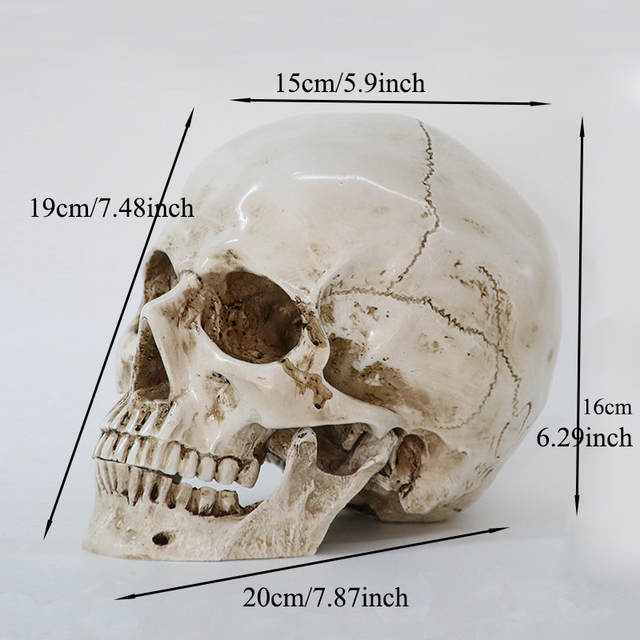 Medical Model Human Head Model Resin Replica In Natural Size 1: 1 Halloween Decoration High Quality Home Decorative Crafts Skull 1