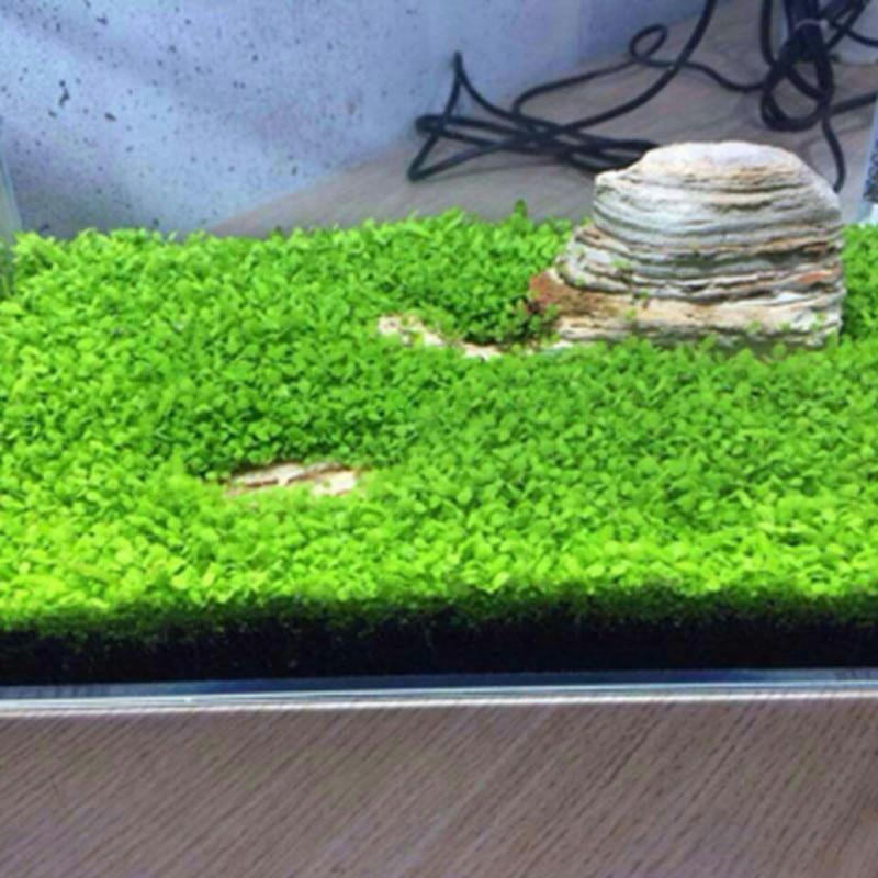 Aquarium Plant Aquarium Water Seed Easy Growing Plant
