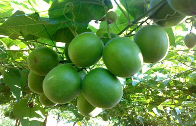 30pcs  Luo Han Guo * Monk Fruit * Siraitia Grosvenori *Health Herba-High Germination