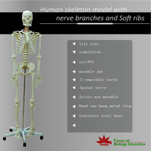 Medical teaching supplies biological Life size legs removable 180cm Male skeleton model  with roller stand