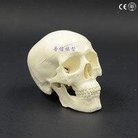 Human Mini Skull Model Skeleton Model Medical Science Teaching