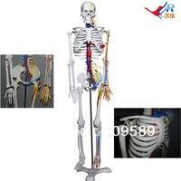 ISO Articulado Esqueleto com Nervos Simulados  Vasos Sanguíneos e Do Coração  85-cm Esqueleto