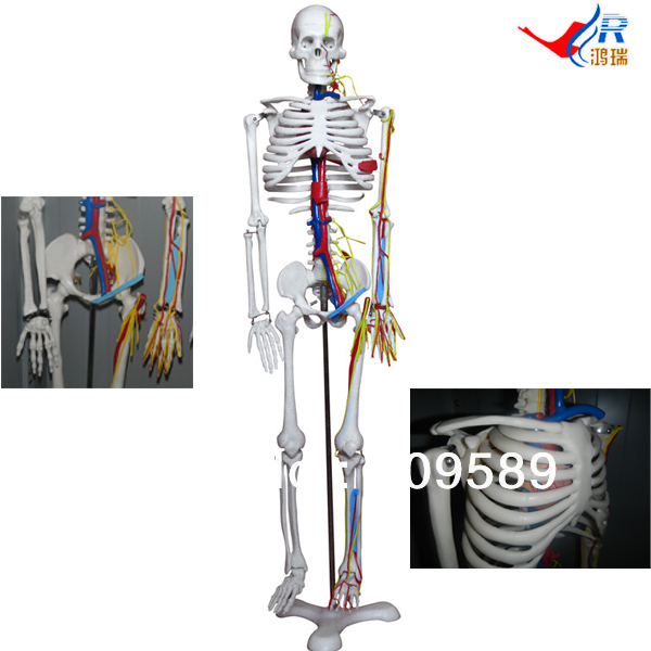ISO Articulated Skeleton with Simulated Nerves, Blood Vessels and Heart, 85-cm Skeleton рюкзак ors oro ors oro or010bwasyu7