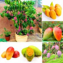 1Pcs/Bag Mango bonsai plant fruit sweet and delicious tree mango family garden decorative potted plants