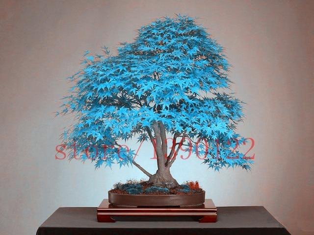 azul rbol de arce semillas raras canadamini plantas bonsai rboles para jardineras macetas bonsai de
