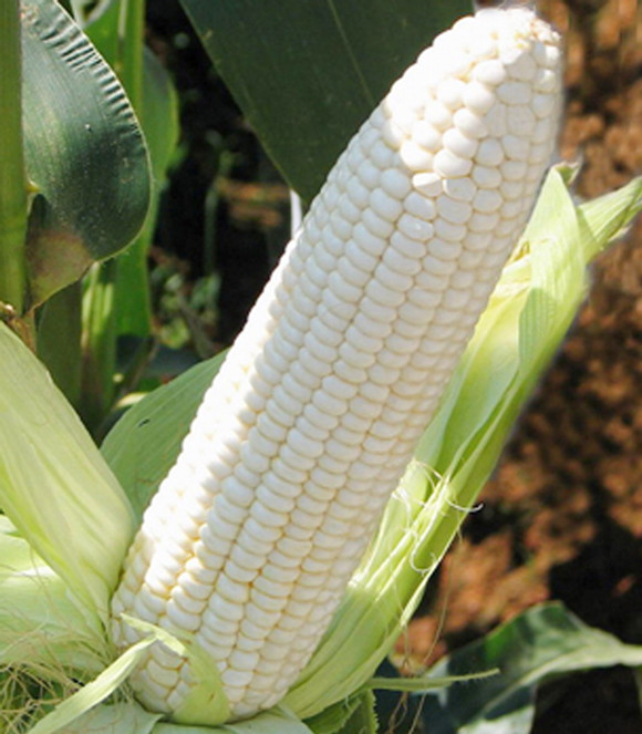 Aliexpress.com : Buy Silver seed of waxy corn corn fruit corn ...