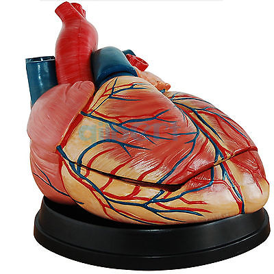 4X Life Size Human Heart Vein into 3 Part Anatomy Cardiac Medical Model цена