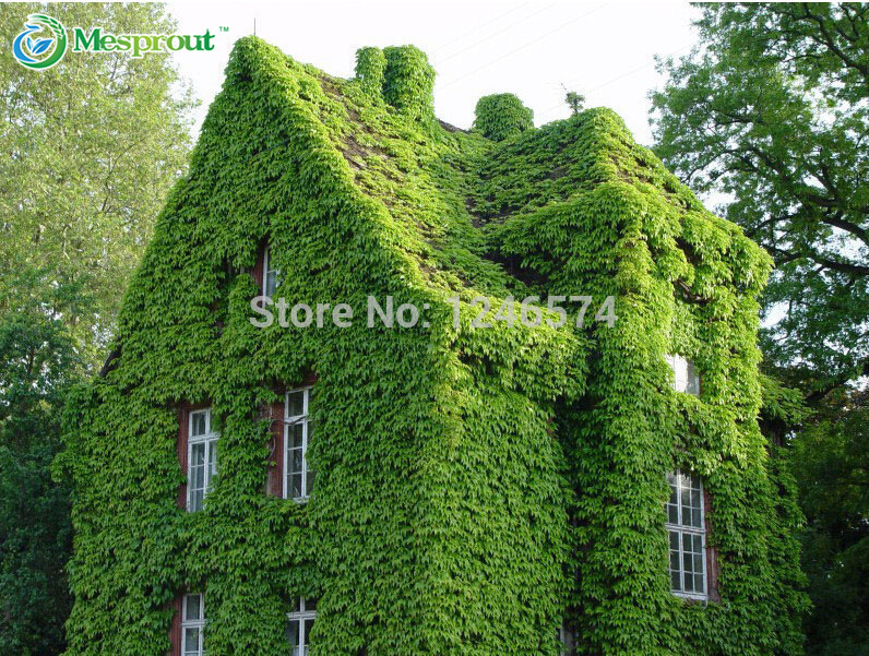 Compare Prices on Ivy Hedera Online ShoppingBuy Low