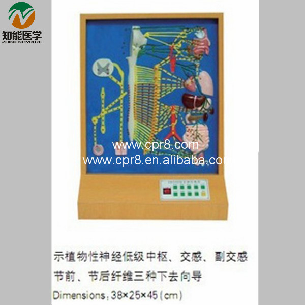 BIX-A1081 Autonomic Nerve Electric Model Medical Aids  WBW382 bix a1079 electric portal collateral circulation model g156
