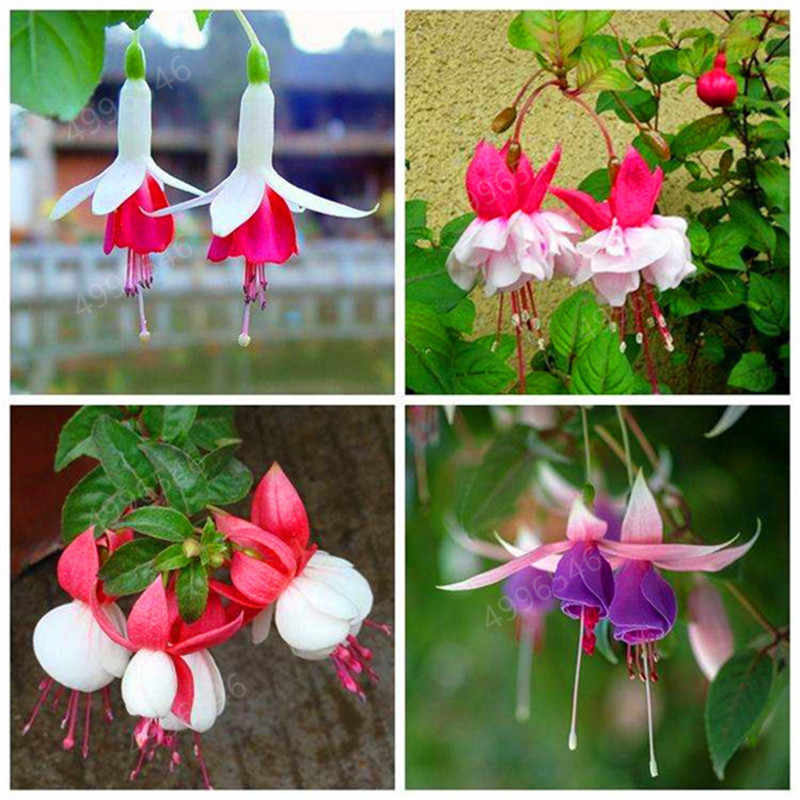 200 Pcs/Bag Multiple Color Fuchsia Bonsai, Hybrida Hort Flores,Bonsai Lantern Flowers, For Garden Home Indoor Blooming Plants