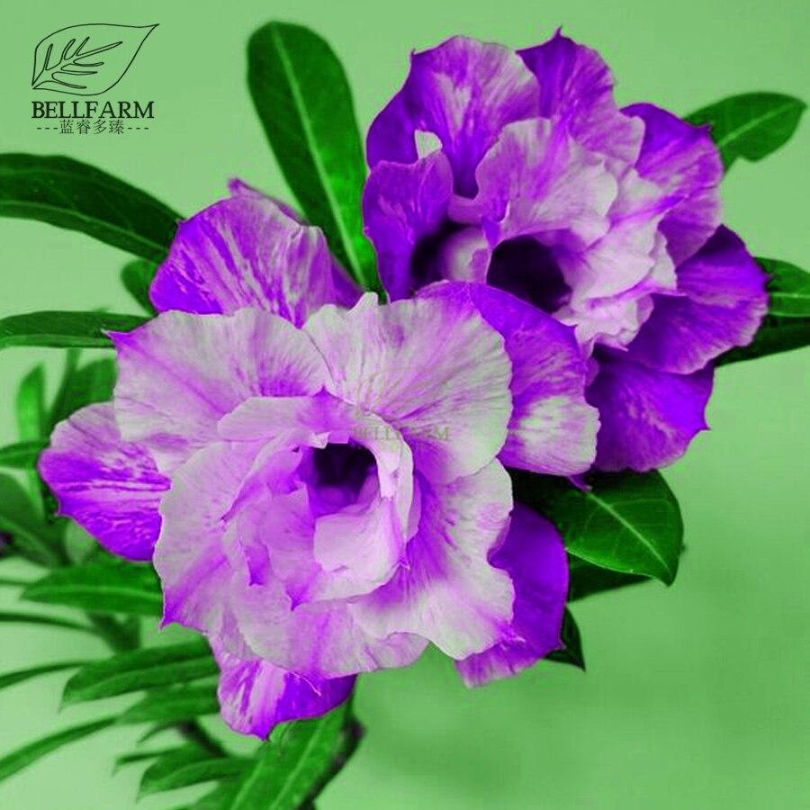 Bellfarm Bonsai 2pcs Adenium Purple White Pink Double Flowers Desert