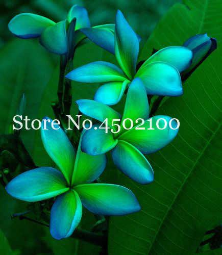 20 шт. цветок плюмерии бонсай, экзотический Гавайский цветок бонсай плюмерии семена пиона наружные субтропики горшечные растения для сада