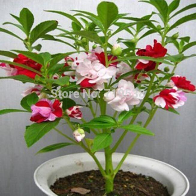 50 шт./лот, четыре сезона красочный бальзамин растения Цветок bonsais комнатные растения bonsais Хна